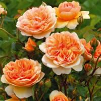 Розы (0)